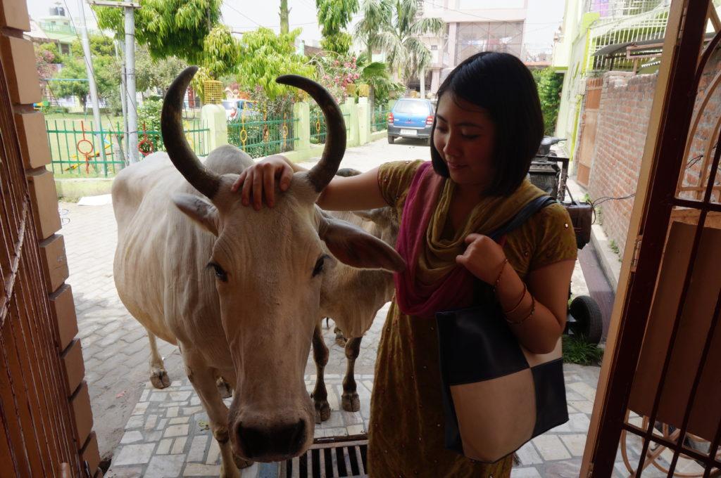 インド・牛と戯れる